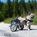 chariot-roulant-pour-chien-handicape-walkin-wheels.jpg