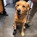 Chaussons de protection intérieur chien