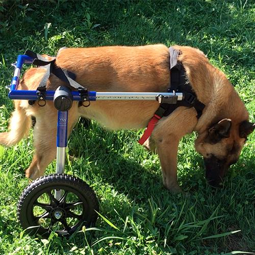 Boudie chien modèle mikan