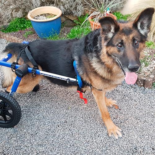 Lucky chein handicapé