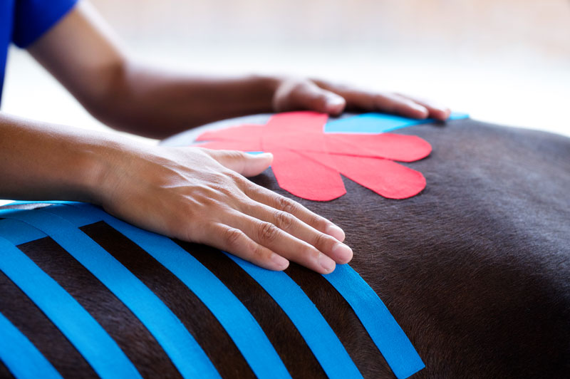 Formation K-taping veterinaire chevaux Mikan