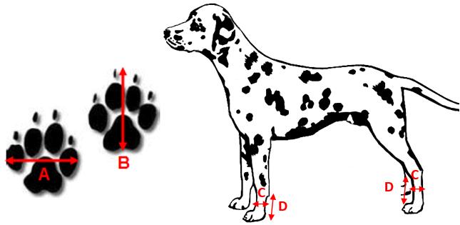 Prise de mesure bottine pour chien therapaw