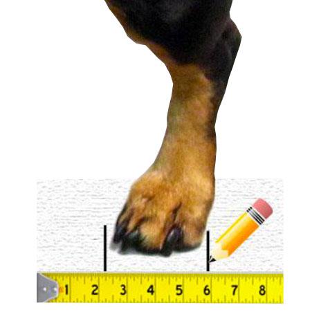 Prise de mesure chaussure Walkin Wheels