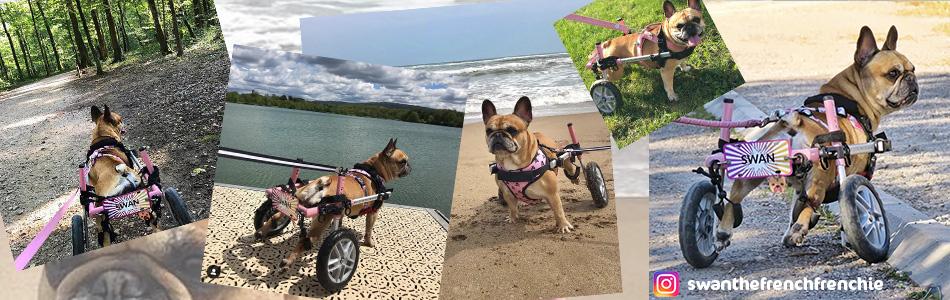 Swan chien paralyse Bulldog Français en chariot roulant