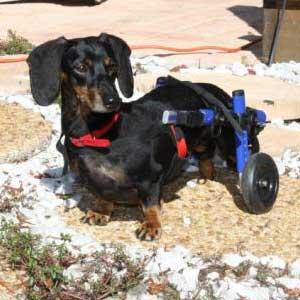 chariot-roulant-pour-chien-handicape-walkin-wheels