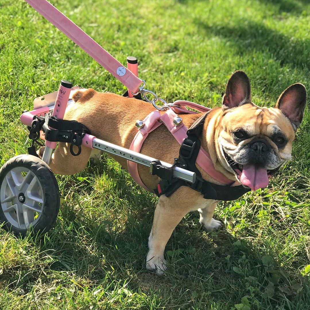Chariot Walkin Wheels pour chiens et chats